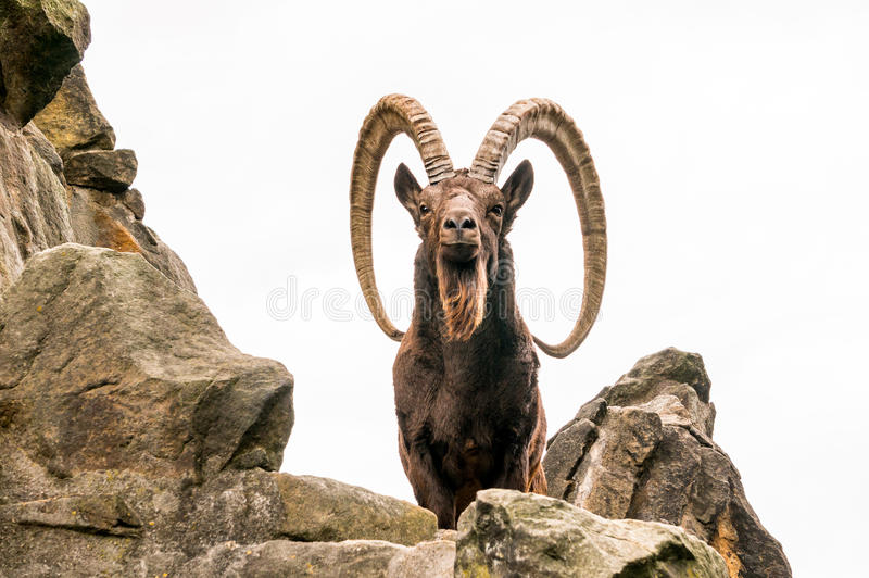 一只伟大的西伯利亚高地山羊 免版税库存照片