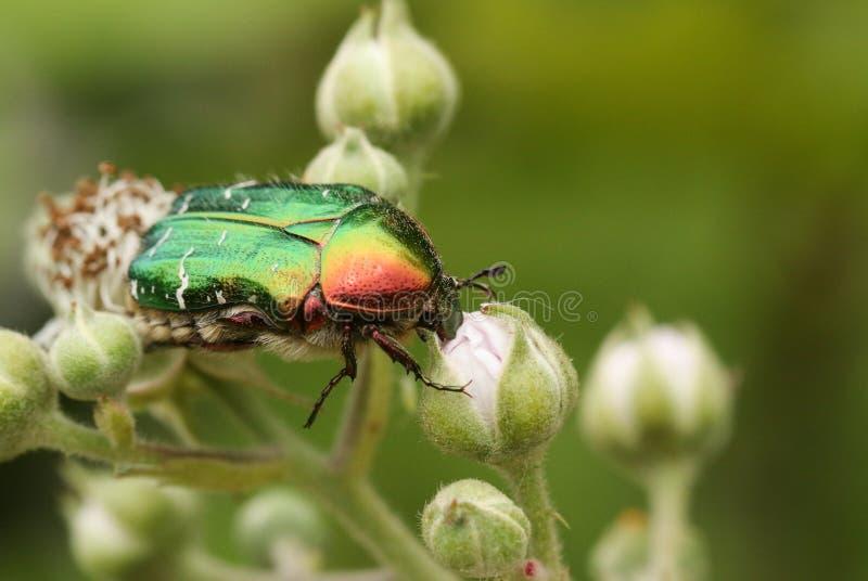 一只俏丽的罗斯金龟子或绿蔷薇金龟子甲虫,Cetonia aurata,nectaring在荆棘花 免版税库存图片