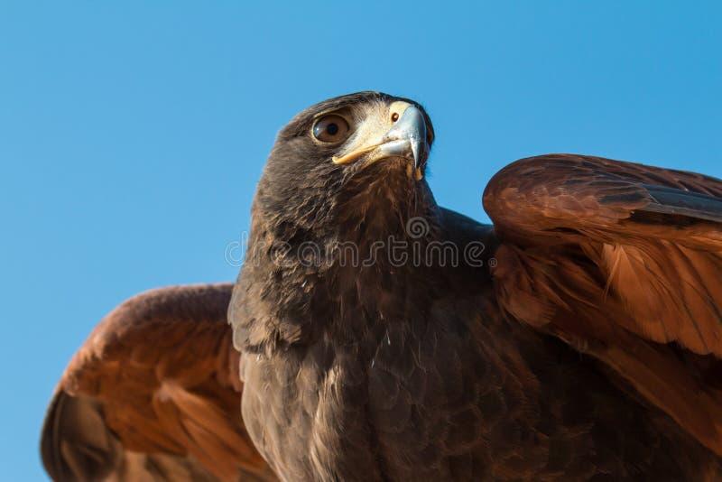 一只公伟大的被察觉的老鹰的画象在一个猎鹰训练术展示期间的在迪拜,阿拉伯联合酋长国 免版税库存图片