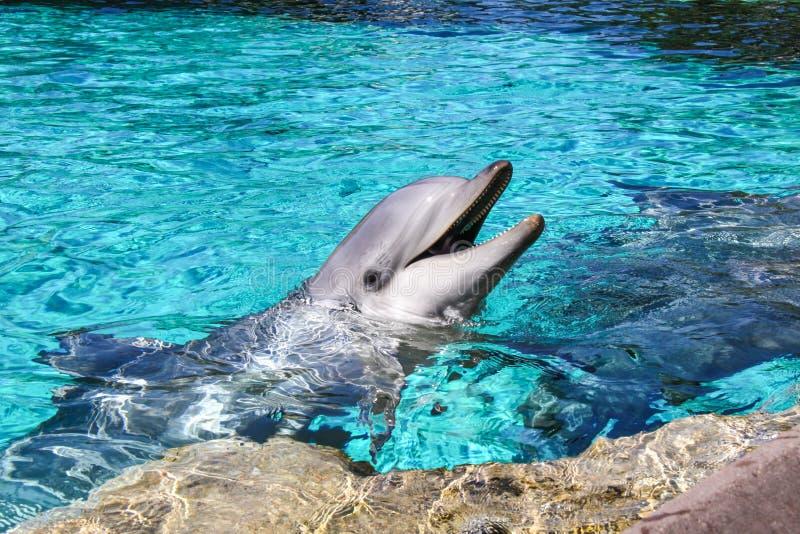 一只共同的宽吻海豚的画象在水池的 库存图片