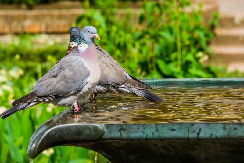一只共同的木鸠的特写镜头坐喷泉在庭院里,共同的鸟在欧亚大陆 免版税库存照片
