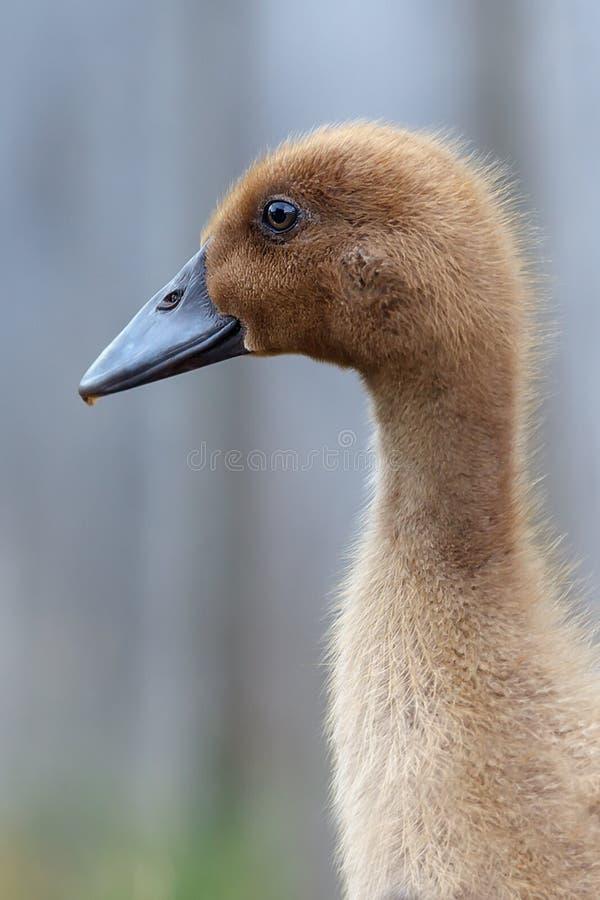 一只典雅的年轻棕色鸭子的画象 库存照片