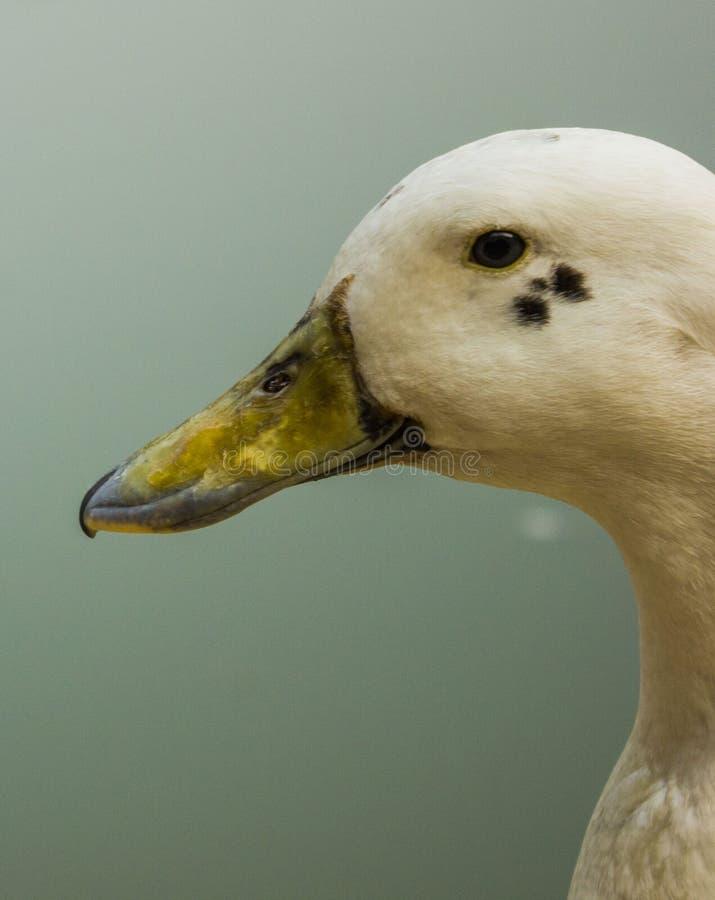 一只凉快的鸭子的特写镜头 免版税库存图片