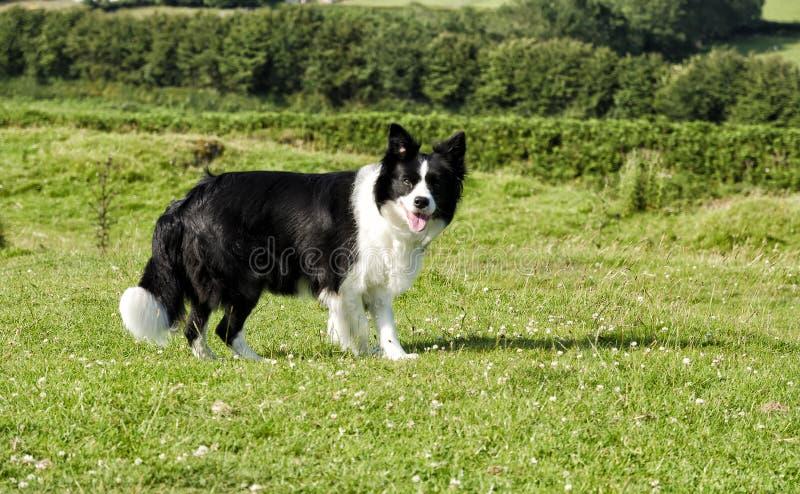 一只博德牧羊犬在面对照相机的一个象草的草甸 免版税库存图片