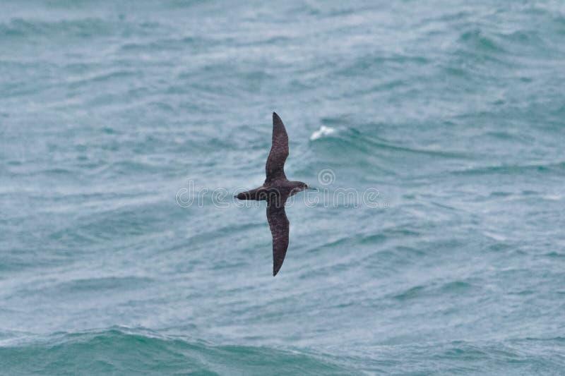 一只危急地危险的拜雷阿尔斯海鸥类飞鸟在飞行中在海洋 图库摄影