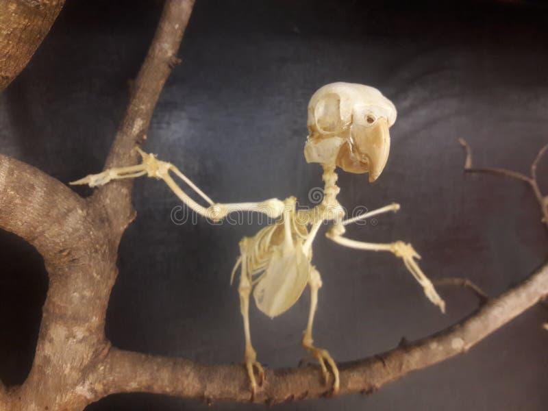 一只危险的鸟的骨骼在生物博物馆 库存图片