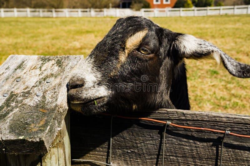 一只友好的山羊的特写镜头 库存照片