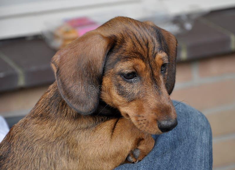 一只可爱的小狗达洪德的特写 免版税库存图片