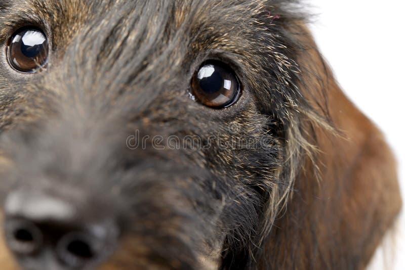 一只可爱的达克斯猎犬的画象 免版税库存照片