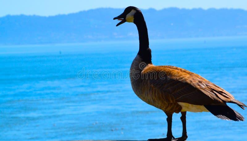 一只呼喊的鸟 免版税库存照片