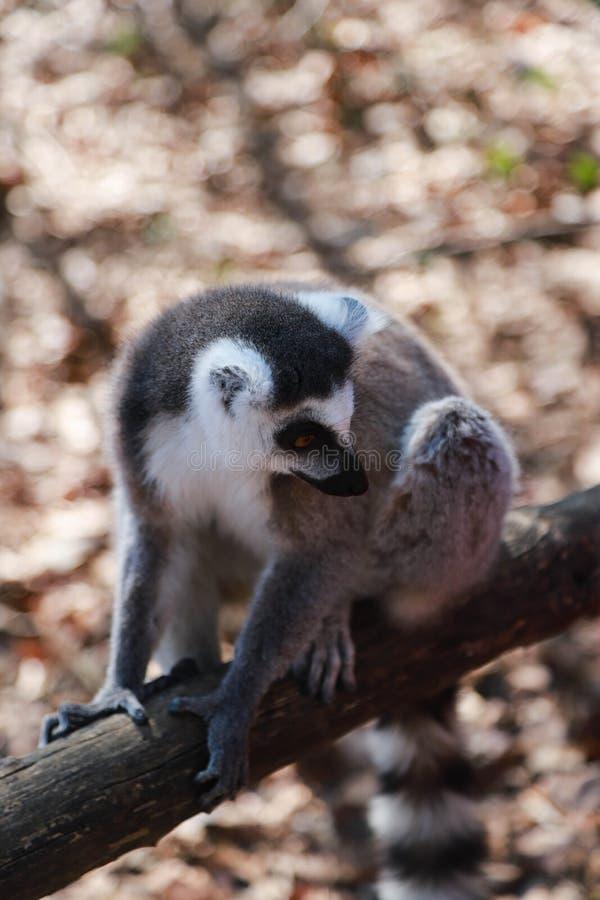 一只哀伤的lring被盯梢的狐猴坐在木篱芭的一个木粱并且看  库存照片