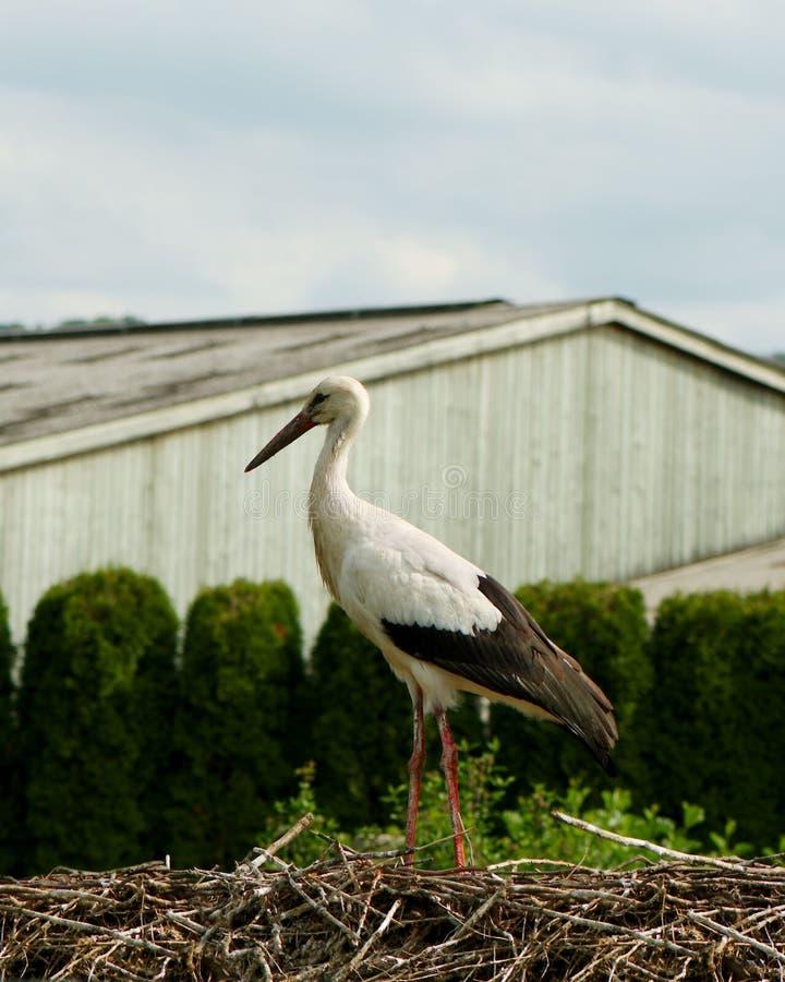 一只唯一鹳的特写镜头在巢的 图库摄影
