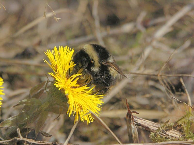 一只土蜂的宏指令在第一朵花母亲和继母的 图库摄影