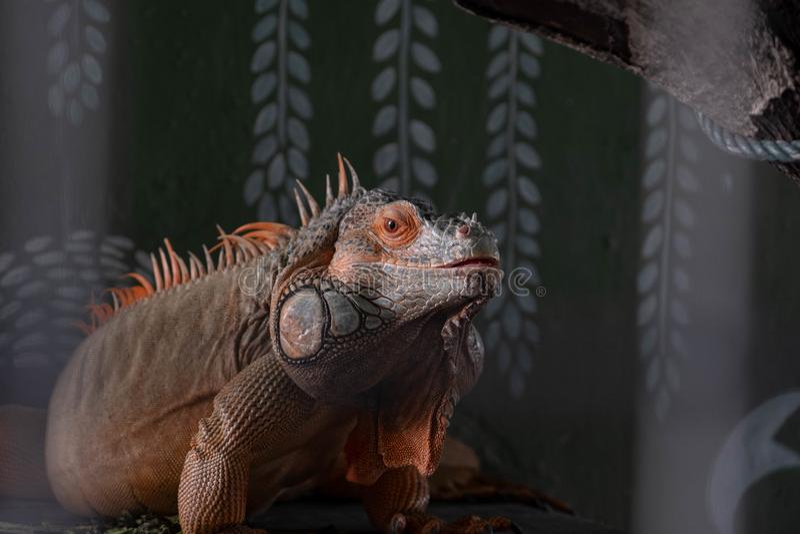 一只地方马来西亚鬣鳞蜥在它的栖所坐栖息 库存图片