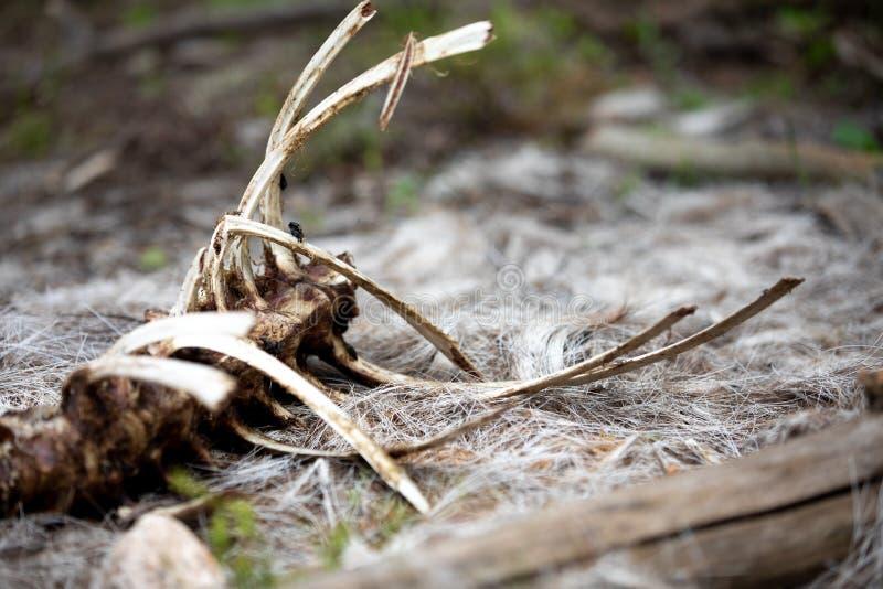 一只大垫铁绵羊的骨骼在洛矶山国家公园的森林里 免版税库存图片