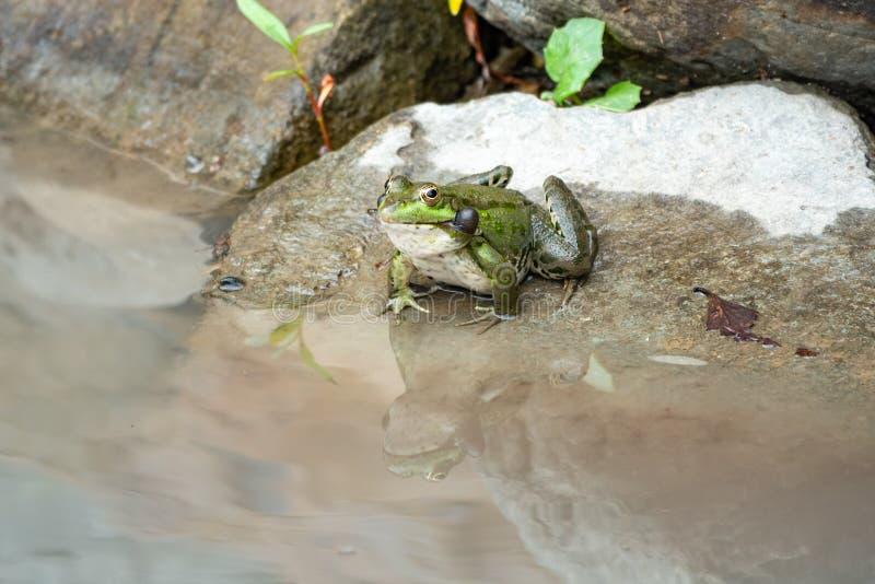 一只大池蛙坐石头在水附近 免版税图库摄影