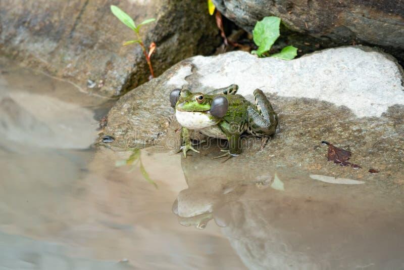 一只大池蛙坐石头在水附近 库存照片