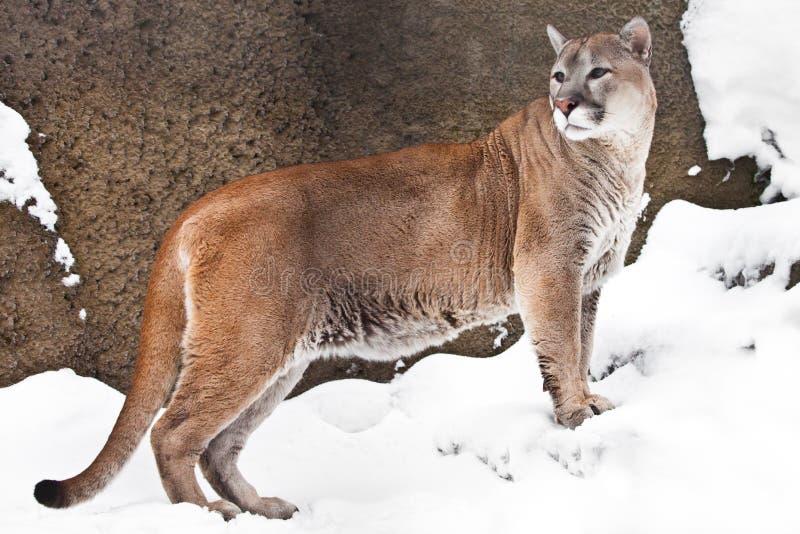一只大猫美洲狮的强的身体在外形的,反对岩石和雪背景,观点的从边的野兽 免版税图库摄影