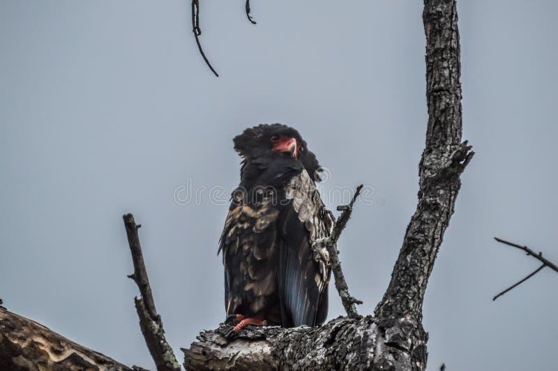 一只大男性Bateleur老鹰在树枝栖息在徒步旅行队期间在南非 图库摄影