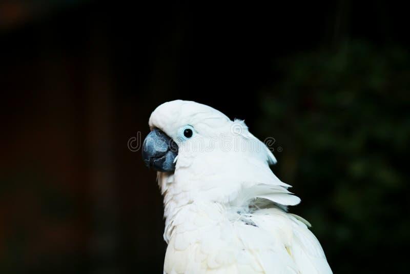一只大白色鹦鹉 库存照片