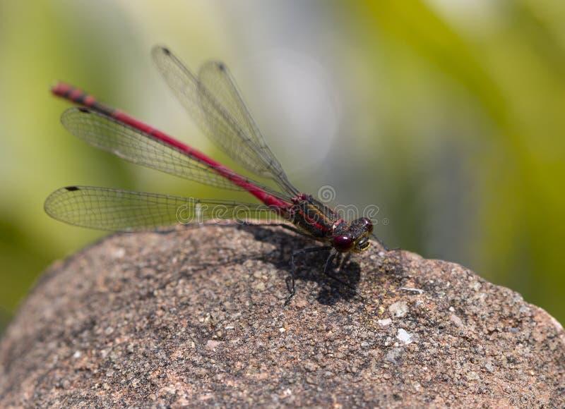 一只大红色蜻蜓休息在石头 免版税库存照片