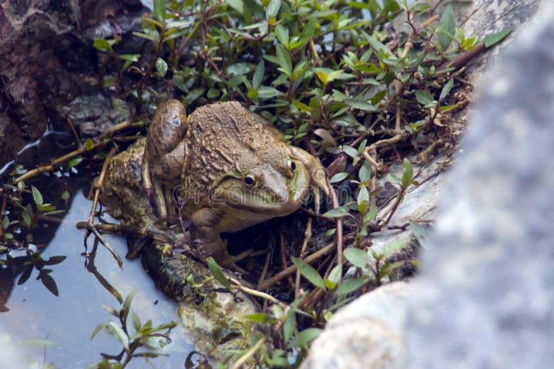 一只大绿色蟾蜍坐岸 库存图片