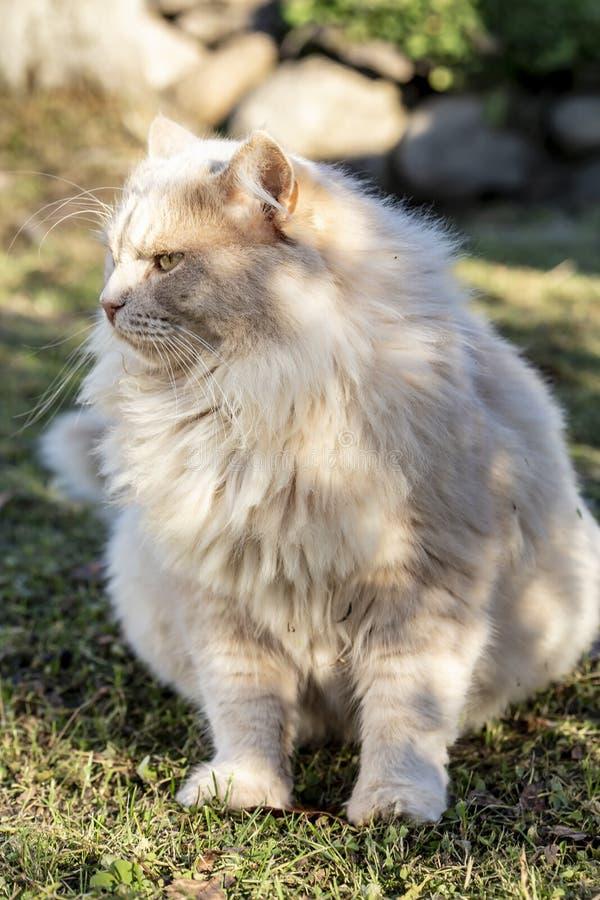 一只大美丽的严肃的桃色的猫坐穿着考究的草坪在乡下和神色入在温暖的距离 库存照片