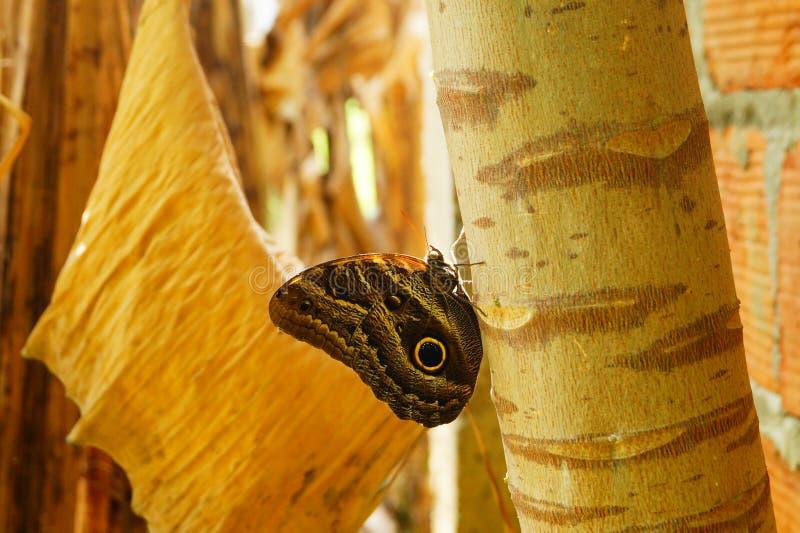一只大蝴蝶的美好的图片在哥伦比亚 库存照片