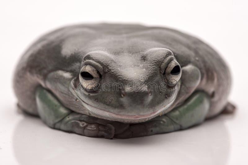一只大,肥胖澳大利亚雨蛙,坐地面 隔绝反对纯净的白色背景 库存照片