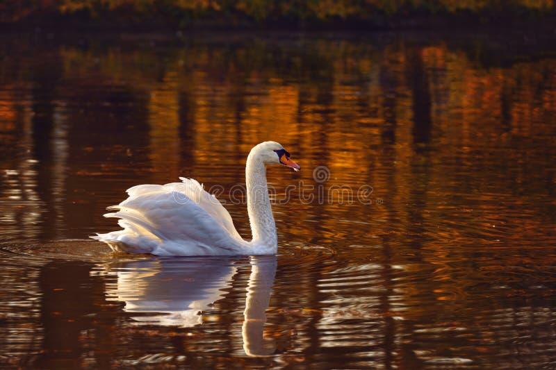 一只天鹅的反射在水的 库存照片