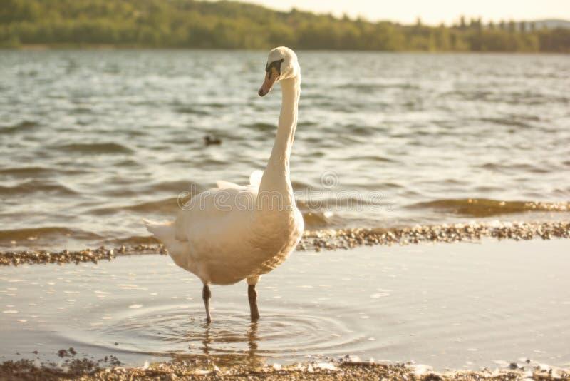一只天鹅的画象由湖的日落的 图库摄影