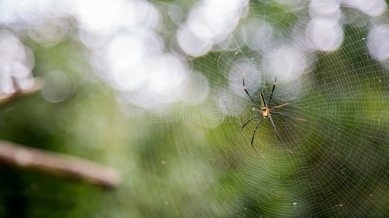 一只女性巨型森林蜘蛛在台北山森林里  库存图片