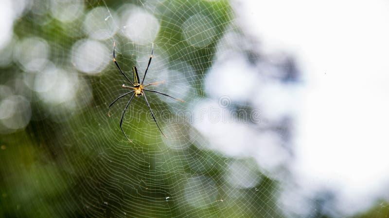 一只女性巨型森林蜘蛛在台北山森林里  免版税库存图片