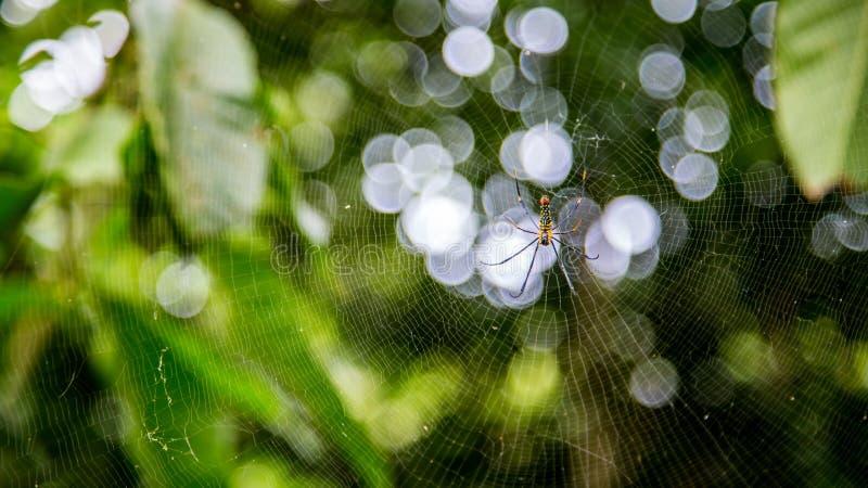 一只女性巨型森林蜘蛛在台北山森林里  库存照片