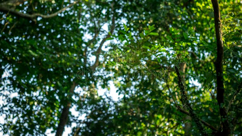 一只女性巨型森林蜘蛛在台北,台湾山森林里  免版税图库摄影