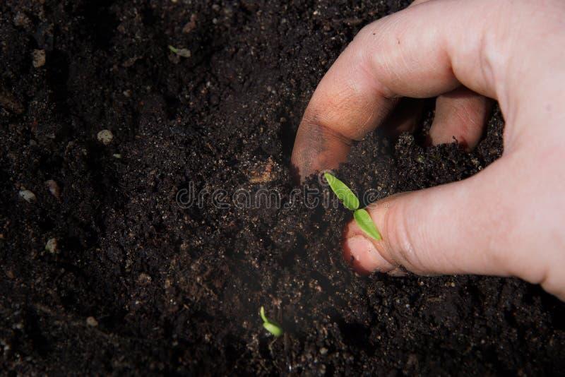 一只女性手在地面投入一个小的绿色新芽 库存图片