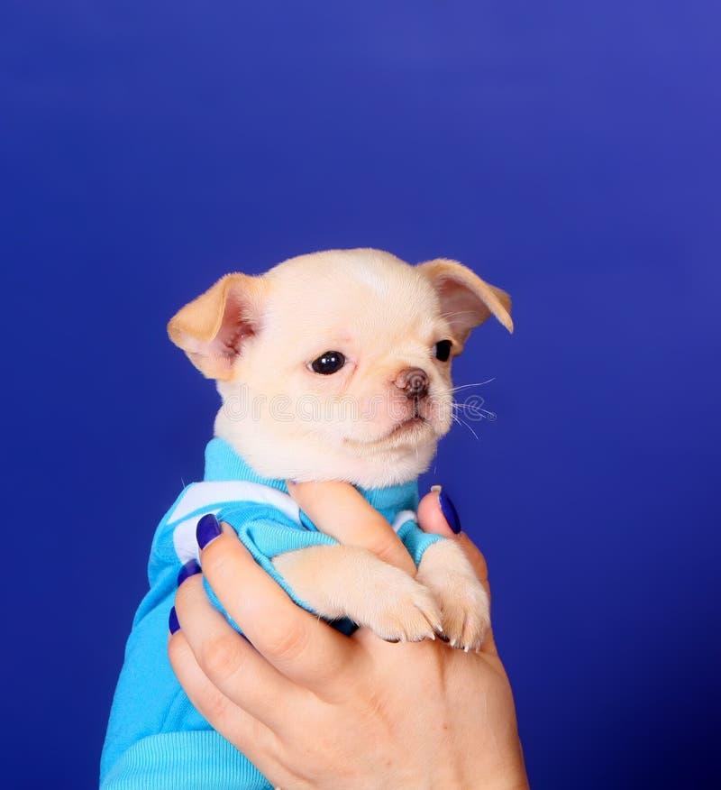 一只女性手拿着奇瓦瓦狗 一个小狗特写镜头的画象在蓝色背景的 摆在演播室的一条逗人喜爱的白色狗 库存照片