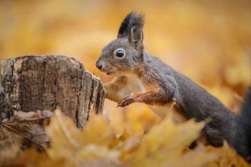 一只好奇红松鼠 图库摄影