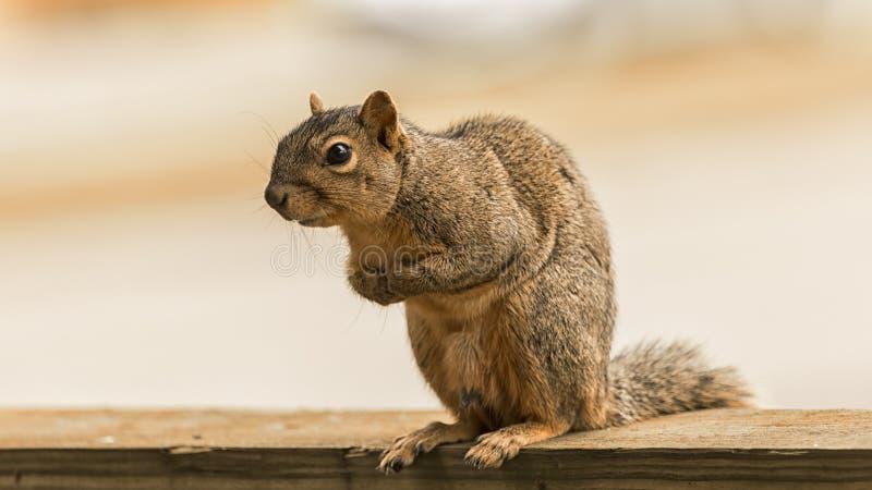 一只好奇美国红松鼠 库存照片