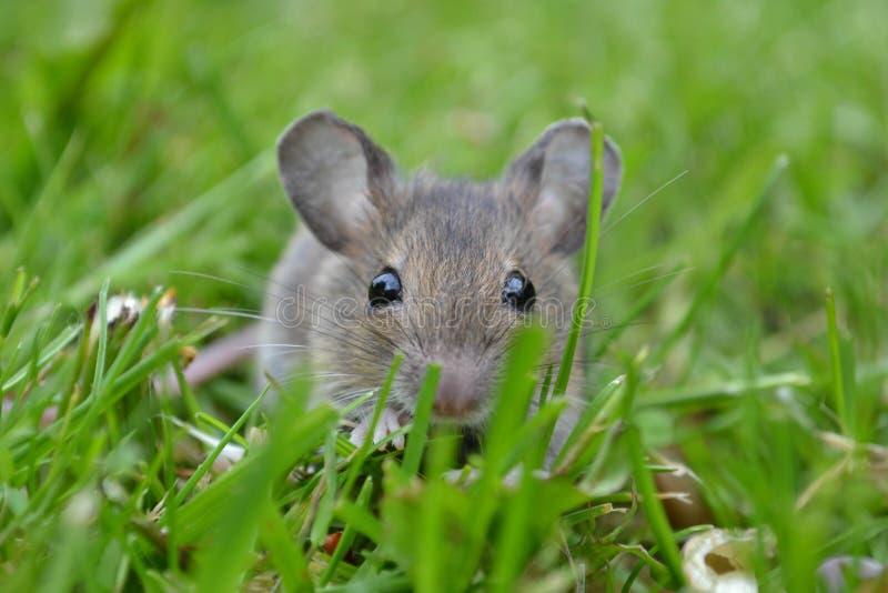 一只好奇老鼠 免版税库存照片