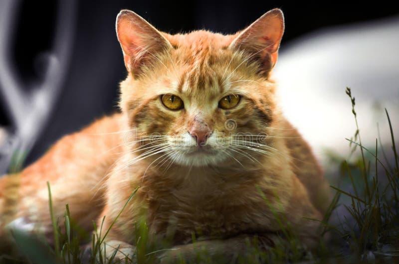 一只姜猫的画象与黄色眼睛的 库存图片