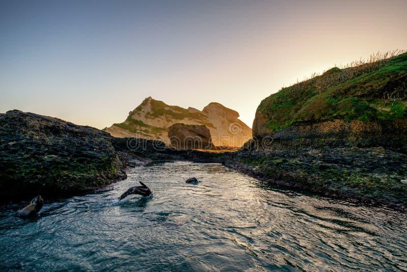 一只嬉戏的海狮幼崽跳跃进出水在新西兰 免版税库存图片