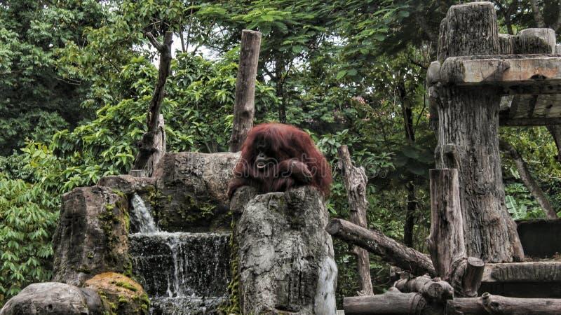 一只孤独的猩猩在塔曼徒步旅行队动物园里,坐岩石 图库摄影