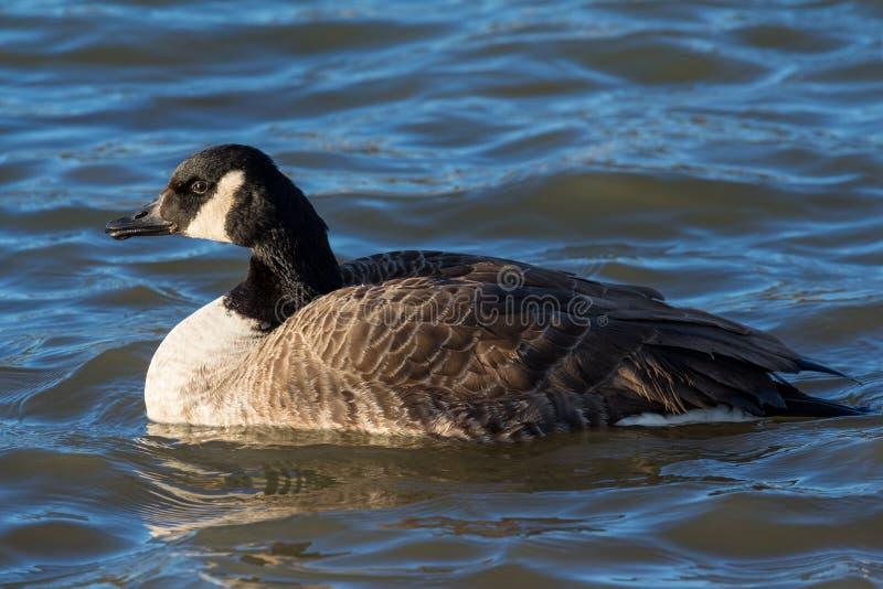 一只孤立加拿大鹅,水禽,游泳在河 免版税库存图片