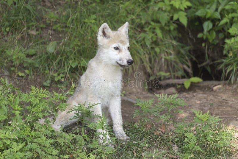 一只孤立北极狼小狗在森林 免版税库存图片