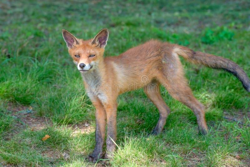 一只孤立狐狸小狗 免版税库存照片