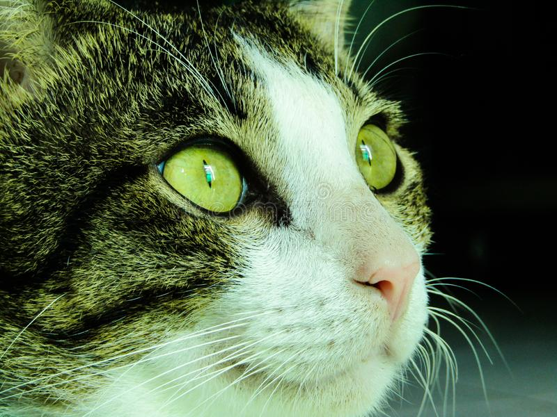 一只家猫的急剧注视 免版税图库摄影