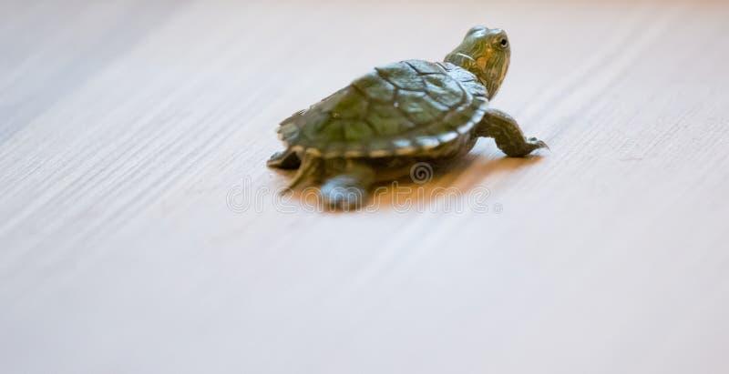 一只小乌龟在地板上爬行 库存照片