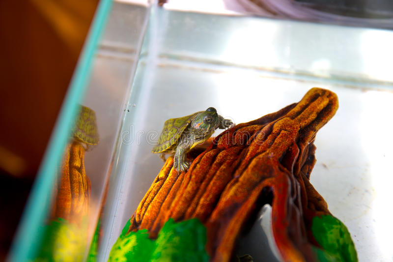 一只小乌龟在地板上爬行 库存图片