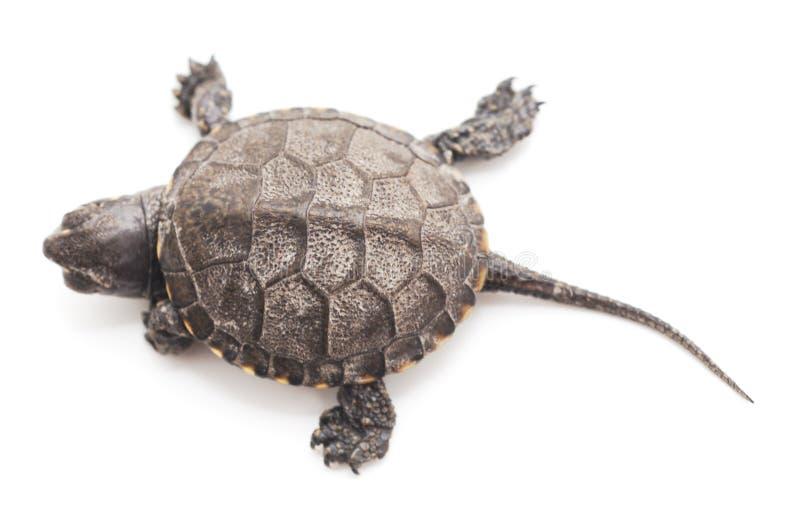 一只小乌龟 图库摄影